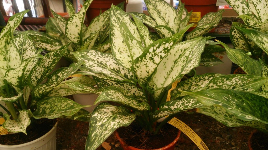 Chinese Evergreen Plant