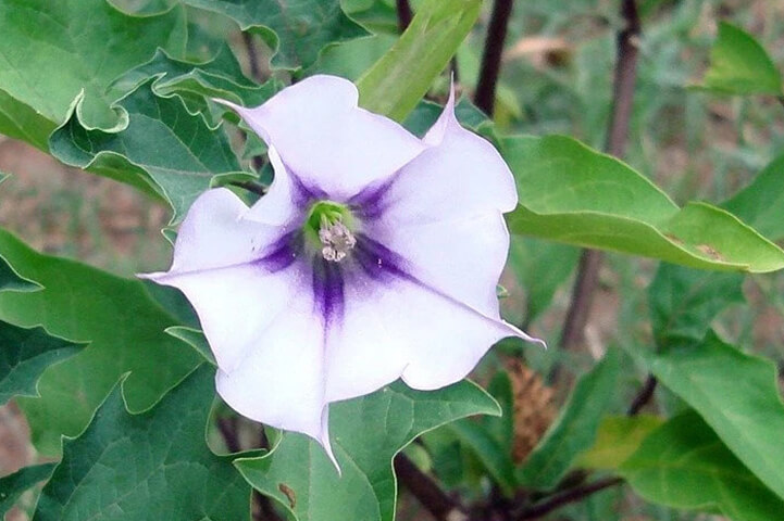 Jimsonweed- most dangerous plant in the world