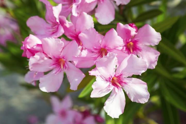 Oleander- most dangerous plants in the world