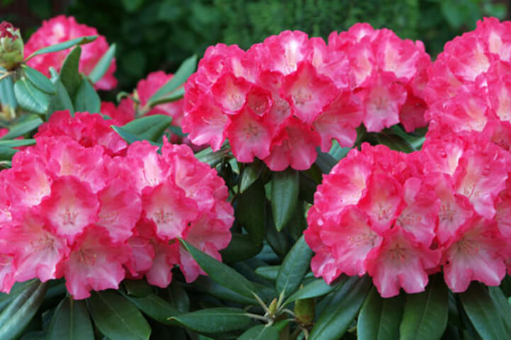 Rhododendron- most deadliest plants in the world